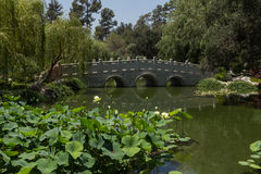 Lotus flowers in front of the bridge in the Chinese garden royalty free stock photo