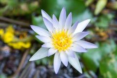 Lotus flowers. Stock Photo