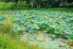 Lotus Flowers Green Leaves rosada en la charca entre hierba Imagen de archivo libre de regalías
