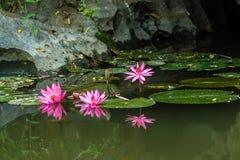 Lotus flowers at Hanoi, Vietnam Stock Images