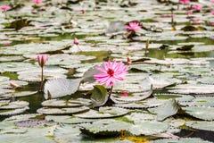 Lotus flowers at Hanoi, Vietnam Stock Image