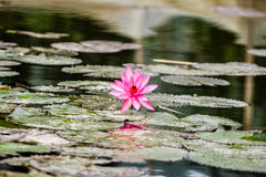 Lotus flowers at Hanoi, Vietnam Stock Photo