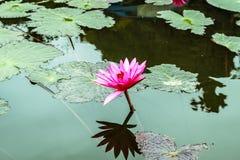 Lotus flowers at Hanoi, Vietnam Stock Photography