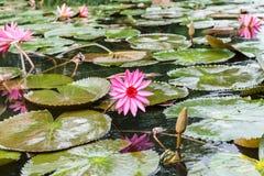 Lotus flowers at Hanoi, Vietnam Royalty Free Stock Photo