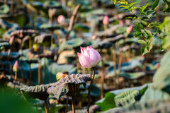 Lotus flowers at Hanoi, Vietnam Royalty Free Stock Photography