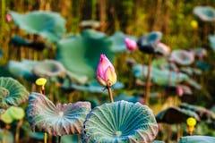 Lotus flowers at Hanoi, Vietnam Royalty Free Stock Image