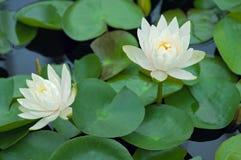 Lotus Flowers i dammet på full blom Arkivbild