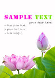 Lotus flowers isolated Stock Images