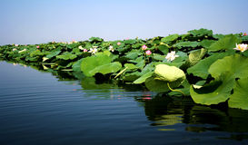 Lotus flowers in the lake Royalty Free Stock Photo