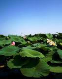 Lotus flowers in the lake Royalty Free Stock Image
