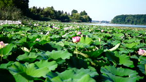 Lotus Flowers, Lake, Kayaks, Forest, Garage for Boats stock video footage