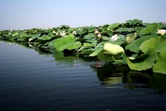 Lotus flowers and leaves Royalty Free Stock Images