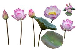 Lotus flowers and leaves isolated on white background.. vector illustration