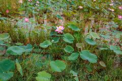 Lotus Flowers and Leaves in a Peaceful Natural Tropical Outdoor stock image