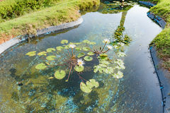 Lotus flowers and leaves in a pond Royalty Free Stock Photo
