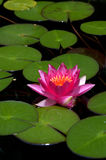 Lotus Flowers Stock Photography