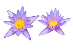 Lotus flowers. On white background Royalty Free Stock Image