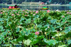 Lotus Flowers In Manasbal Lake Royalty-vrije Stock Foto