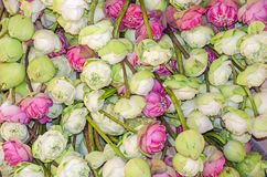 Lotus flowers laid out in a Cambodian buddhist temple. Lotus flowers Nelumbo nucifera, also known as Indian lotus, sacred lotus, bean of India, Egyptian bean or royalty free stock photo
