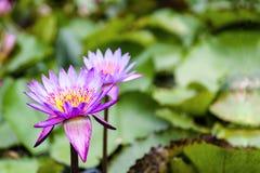 Lotus Flowers Nelumbo Nucifera på ett damm Royaltyfria Bilder