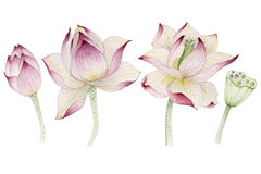 Lotus flowers painted in watercolor stock photos