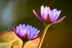 The lotus flowers Royalty Free Stock Image