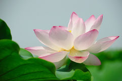 Lotus flowers. Pink lotus flowers with green leaves stock photos