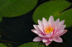 Lotus. Flowers on the pond Royalty Free Stock Photo
