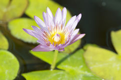 Lotus flowers. On the pond Stock Image