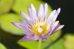 Lotus flowers. On the pond Stock Photography