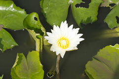 Lotus flowers. On the pond Royalty Free Stock Images