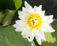 Lotus flowers. On the pond Royalty Free Stock Photos
