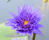 Lotus flowers. On the pond Stock Photo