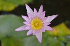 Lotus flowers. On the pond Stock Images