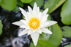 Lotus flowers. On the pond Stock Photos