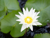 Lotus flowers. On the pond Royalty Free Stock Photography