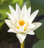 Lotus flowers. On the pond Royalty Free Stock Photo