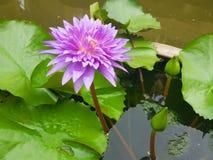 Lotus flowers in pond. Beautiful nuture background. Lotus purple flower stock photos