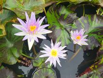Lotus flowers in pond. Beautiful nuture background. Lotus purple flower royalty free stock photos