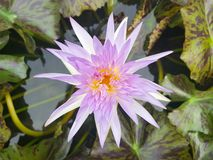 Lotus flowers in pond. Beautiful nuture background. Purple flower royalty free stock images