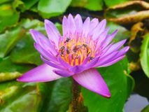 Lotus flowers in pond with bee. Beautiful nuture background. Plant and tree royalty free stock images