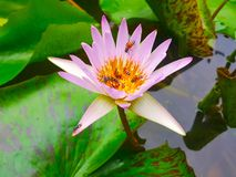 Lotus flowers in pond with bee. Beautiful nuture background. Plant and tree stock image
