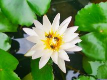 Lotus flowers in pond with bee. Beautiful nuture background. Lotus white flower royalty free stock photos
