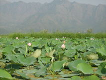 Lotus flowers in a pond in Ladakh Stock Images