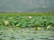 Lotus flowers in a pond in Ladakh-3 Stock Photography