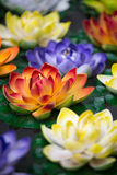 Lotus-flowers in a pond Stock Image