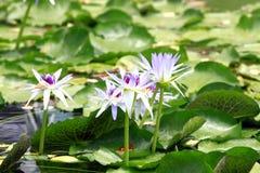 Lotus flowers in pond Stock Photo