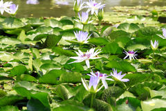 Lotus flowers in pond Royalty Free Stock Photo