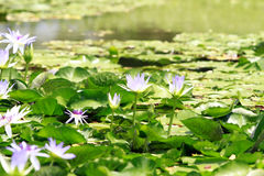 Lotus flowers in pond Royalty Free Stock Photos