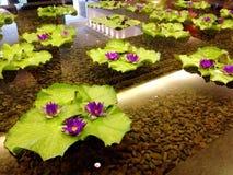 Lotus Flowers. Purple lotus flowers blooming on leaves in a pond. Ceiling reflected in water Stock Photo